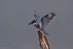 Martin Pescador (Ceryle alcyon) Belted Kingfisher (Dax M. Roman E.) Tags: martinpescador cerylealcyon beltedkingfisher daxroman presadehatillo hatillo republicadominicana avesenlaespaola avesenrepublicadominicana kingfisher