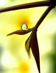 And now, a brief interlude (Kaos2) Tags: flower macro leaf waterdrop refraction oleander nandina nerium neriumoleander heavenlybamboo