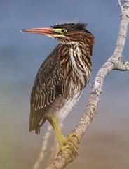 Green Heron (dianne_stankiewicz) Tags: heron greenheron bird coastal nature wildlife allnaturesparadise