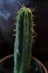 Tall Achuma (jpmatth) Tags: digital color canon eos 7d lenstagged ef50mm25compactmacro home garden cactus trichocereus bridgesii achuma 2016