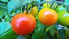 Mes petites tomates cerises rasta.. My little tomatoes rasta .. ;-) [in explore] (Isa****) Tags: macro couleurs rasta