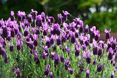French lavender (qooh88) Tags: flower purple lavender  herb frenchlavender   lavandula palepurple bract    stoechaslavender     lavandulastoechas