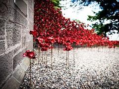 #Perth #poppies #balhousie (davebobstreetphoto) Tags: mft olympus lumix 20mm17 em10 m43 balhousiecastle perth poppies instagramapp