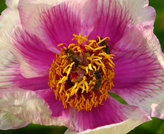 Peony Party (*Gitpix*) Tags: pink flowers party flower color macro nature closeup germany deutschland three petals spring blossom sony natur blumen peony bee stamen trio blume makro dsseldorf blte bltenbltter nahaufnahme springtime farben biene frhling drei blten pfingstrose pistils bltenstempel staubgefse sonynex7 sonysel55210