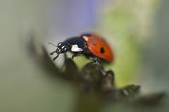 On the Edge (Rense Haveman) Tags: red bug garden pentax beetle daisy ladybird manualfocus coccinellidae coccinella bellisperennis autoyashinondx50mmf17 pentaxk5 rensehaveman singleinmay2013