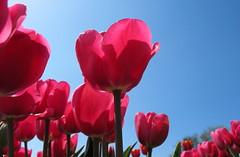 pink contra blue (Esther5h) Tags: flowers sky flower blauw lucht bloemen roze bloem bollenveld platinumheartaward