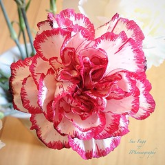 in the scented corner (green-dinosaur) Tags: pink flowers light flower closeup petals colours close theme 365 carnation iphone flowerscloseup iphone4 iphoneography theinspirationgroup suefagg