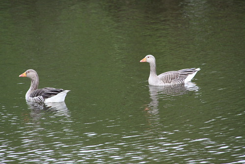 Greylag Geese at Pype Hayes Park 11th May2013 (3)