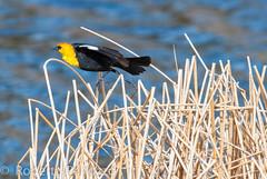 Just Airborn (ChicagoBob46) Tags: bird ngc yellowstonenationalpark yellowstone blackbird yellowheadedblackbird