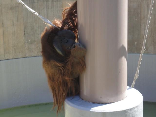 鉄塔の下まで降りてきて、餌のリンゴやバナナを食べていました。|旭川市旭山動物園