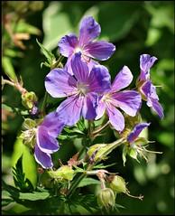 Delicate Purple (Stella Blu) Tags: flowers purple stellablu nikkor105mmf28gvrmicro nikond5000 pregamesweepwinner pregameduelwinner