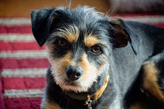 Edgar! (tacoma290) Tags: pet happy nikon marriage edgar ratterrier petportrait