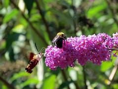 must be a tasty flower (natureburbs) Tags: flower bee pinkflower butterflybush hummingbirdmoth backyardwildlife newjerseywildlife