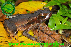 HAEMETITICUS (frog.sanctuary) Tags: wild costa tree verde glass rain animal night forest river rainforest heaven tour natural selva dry toads rica frog litter oasis bosque wetlands tropical poison sapos ponds silvestre dart sanctuary arenal guided bufo lluvioso ranas sarapiqui anura guía hojarasca inbio tirimbina observación venenosas costarican hábitat arborícolas haemetiticus