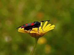(T.I.T.A.) Tags: macro mariposa tita bolboreta zygaena carmensolla carmensollafotografía carmensollaimágenes
