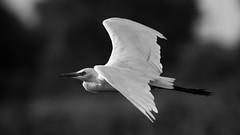 Egret (Awais.M (1M views+ Views Thank you )) Tags: pakistan punjab egret birdphotography egretinflight sadiqabad canonef400mmf56lusm birdsinpakistan flyingegret canoneos60d awaismustafa awaism