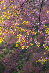Cherry blossom garden (Kwanchai_K) Tags: road park trip travel pink winter wild sky house mountain holiday plant cold flower color macro tree green art leave tourism nature floral grass japan garden season cherry landscape thailand outdoors japanese spring flora colorful natural path vivid tent fresh bark romantic sakura chiangmai warming pathway springtime global thaisakura ซากุระ นางพญาเสือโคร่ง khunmaeya khunchangkian thailandsakura queentigerflower
