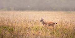 Foggy Fawn (Chris Heising) Tags: nature washington mt wildlife deer fawn rainier