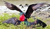 Two Male Frigate Birds Challenging Each Other, Galapagos (Susan Roehl) Tags: space ngc npc april fighting specanimal malefrigatebird galapagos2013 genovesaislanda