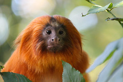 Golden lion tamarin (Hannah_Kirkland) Tags: nature golden wildlife lion tamarin durrell