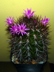 it's been blooming since early july, still in bloom 11-28-13; Neoporteria wagenknechtii (nolehace) Tags: sanfrancisco cactus fall succulent 1013 wagenknechtii neoporteria nolehace fz35