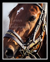 Groupie Doll (EASY GOER) Tags: ny sports track state tracks racing course event athletes races sporting equine thoroughbreds