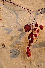 Creeper (Mel@photo break) Tags: china light shadow red plant vine mel shade melinda creeper anhui   chanmelmel melindachan