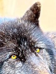 IMG_5283.JPG (Michael Ferranti Photography) Tags: eye alaska forest puppy eyes wolf pack wolves wolfpack alaskantundra gothamayurveda michaelferrantiphotography mferrantiphoto