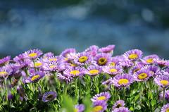 Profusion (Bellatchitchi) Tags: flower macro green fleur yellow soleil purple blossom bokeh extrieur printemps dtail d7000