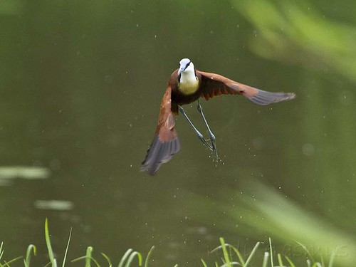 African Jacana , flying up , Lake  panic , in the  rain_9705