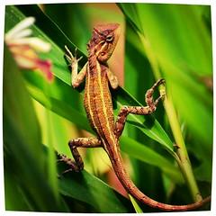 Lizard (nimakhosravi) Tags: nature dragon reptile lizard rough chameleon reptiles supershot specanimal سوسمار sunrays5 flickrandroidapp:filter=iguana nimakhosravi
