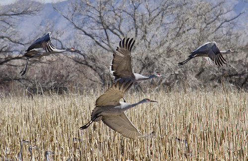 Sandhill Cranes at Bernardo by snowpeak, on Flickr