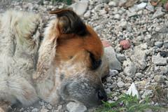 Rock bed (taddzilla) Tags: sleeping dog woof mutt rocks florida miami stones sleepy naptime allrightsreserved wynwood 2013