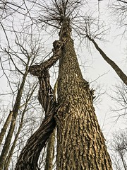 The Climber (deanspic) Tags: wood trees winter ontario canada tree pareidolia climb cornwall vine bark ash juxtaposition entwine cling entwined anthropomorphism musing riverdale humanform juxtaposes patternicity g1x