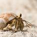 {unidentified} hermit crab - Ko Lipe  Thailand