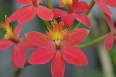 Red orchids in bloom (sblinn) Tags: red orange orchid flower newjersey orchids farm nj duke somerset jersey farms hillsborough