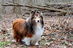 a walk with Bravo before the snow falls  6/52 (courtney065) Tags: 52weeksfordogs nikond90 dogs woods winter shelties shetlandsheepdogs dogportraits pet animal