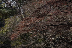 (ddsnet) Tags: plant japan tokyo sony cybershot autumnleaves  nippon    autumnal nihon      rx10 tkyto leaves autumn