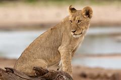 Young & Wild (Wild Dogger) Tags: africa animals cub tiere wildlife lion safari zimbabwe afrika predator mammals lioness carnivore lwe simbabwe bigfive hwange pantheraleo lwin felidae sugetier raubtiere 2013 specanimal littlemakololo