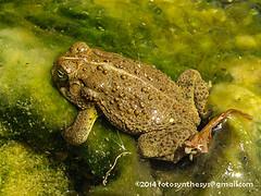 Rocky Mountain Toad (Anaxyrus woodhousii woodhousii) IMG_1719 (fotosynthesys) Tags: arizona unitedstates grandcanyon amphibian toad bufonidae rockymountaintoad anaxyruswoodhousiiwoodhousii