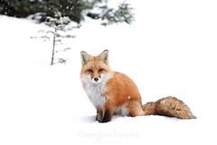 Watching You...Watching Me (Megan Lorenz) Tags: winter wild snow ontario canada male nature wildlife fox getty algonquin wildanimals redfox algonquinprovincialpark mlorenz meganlorenz