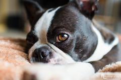 Boston Terrier Eye