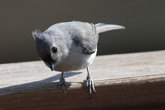 Tufted Titmouse (Baeolophus bicolor) (Scott Alan McClurg) Tags: animal backyard bird eat feathers feed female flap life neighborhood perch post smallbirds songbird titmouse tufted wild wildlife winter woods