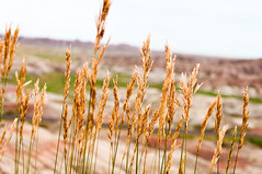 The Little Things (wenzday01) Tags: park travel nature southdakota landscape nationalpark nikon dof interior wheat sd badlands nikkor badlandsnationalpark d90 nikond90 18105mmf3556gedafsvrdx