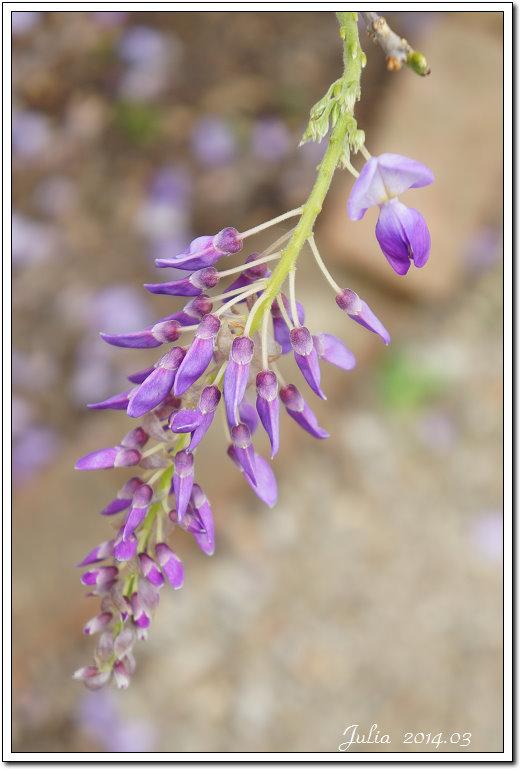 紫藤、老梅 (20)