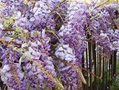 New Orleans: Riverbend: wisteria (green voyage (mostly away from computer, for a whi) Tags: morning flowers usa spring vines louisiana neworleans april wisteria riverbendneighborhood gulfcoastregion