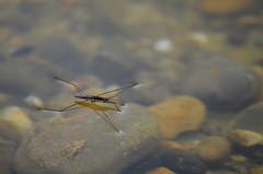 Wasserlufer (kaaasch) Tags: water animal insect see nikon wasser makro insekt tier waterstrider wasserlufer d5100 nikond5100 kaaasch