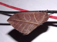 Saturniidae Moth - Automeris sp. (Dis da fi we (was Hickatee)) Tags: forest rainforest belize wildlife moth culture toledo jungle puntagorda saturniidae automeris hickatee hickateecottages hickateebelize hickateepuntagorda