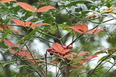 Dreamy (Gillian Everett) Tags: australia queensland nandinadomestica heavenlybamboo sooc noosahinterland mdpd201405 mdpd2014