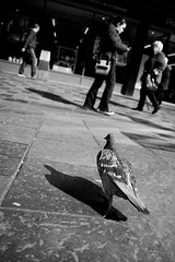 Hunt of the Urban Scavenger (Leanne Boulton) Tags: life lighting street city light shadow wild portrait people urban woman sunlight man detail bird eye texture window nature dutch lines birds animal composition contrast shopping walking lights three daylight store high women focus shadows view angle natural bright display bokeh outdoor pov pigeon live candid wildlife low wide perspective creative feathers streetphotography pedestrian scene human shade area paving tilt depth tone zone avian hunt scavenger feral selective differential sauchiehall stride striding bokehlicious candidstreetphotography apterture